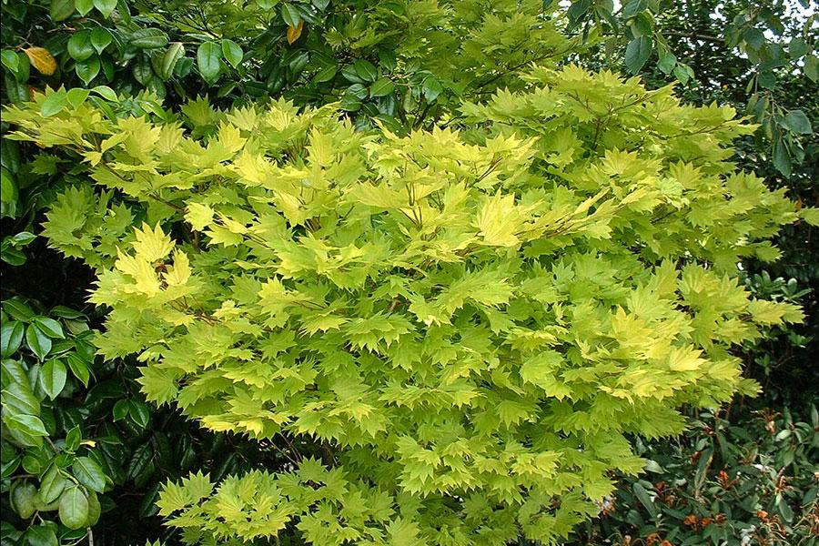 Acer-japonicum-Aureum-gulbladig-solfjaderslonn.jpg