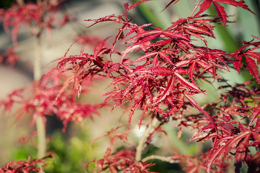 Acer-palmatum-japansk-dvargblodlonn-.jpg