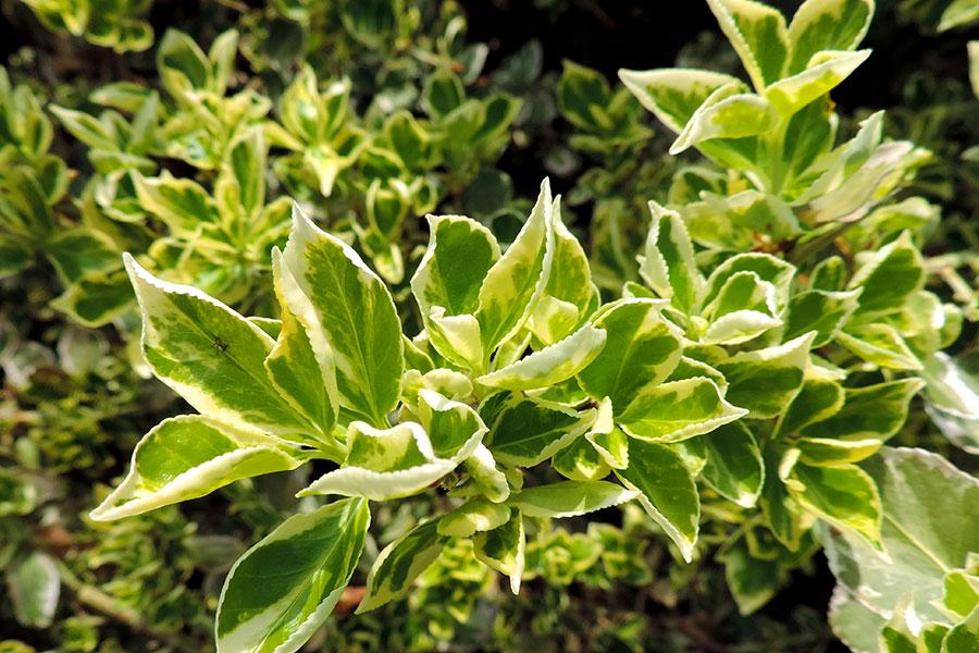 Euonymus-fortunei-klatterbenved.jpg