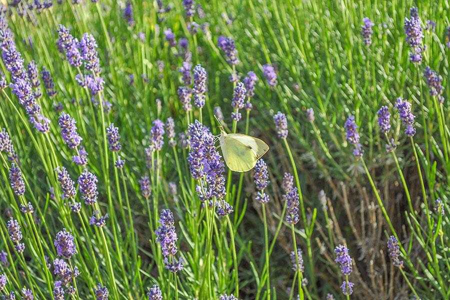 Lavandula-angustifolia-lavendel-.jpg