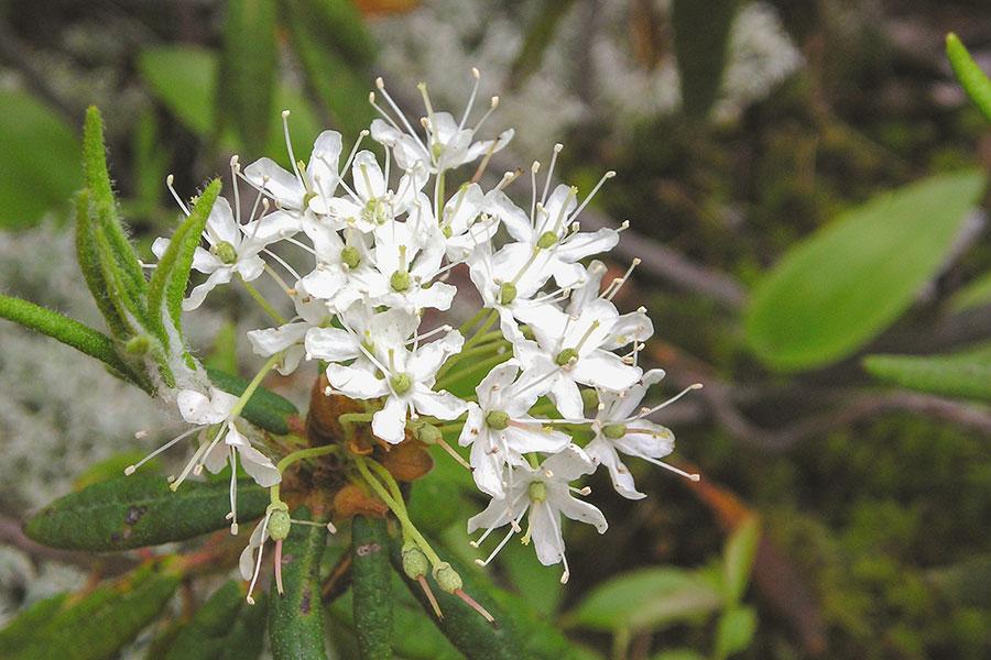 Ledum-groenlandicum-bredbladig-skvattram.jpg