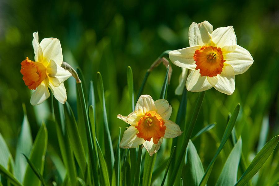 Narcissus-poeticus-poetnarciss-pingstlilja.jpg
