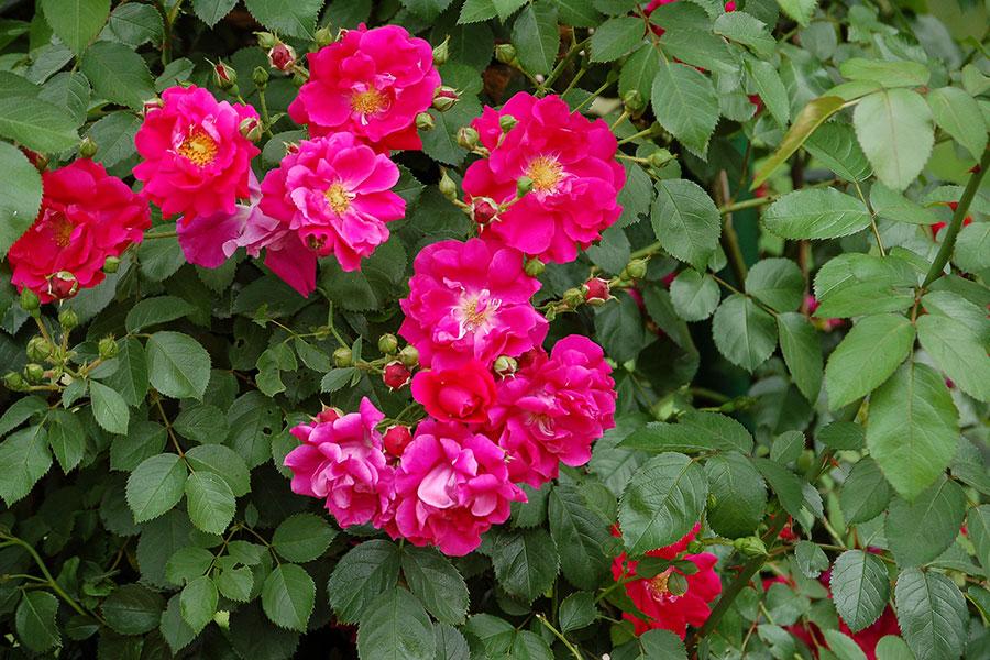 klatterros-rosa-flammentaz.jpg