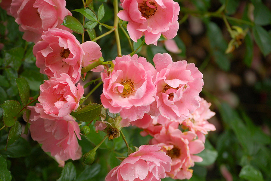 ros-rosa-sommerwind.jpg