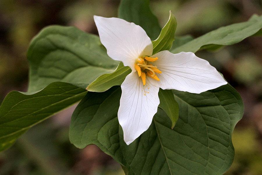 trillium chloropetalum blommar under våren och försommaren